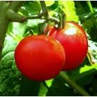 Tomatenfestijn