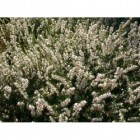 Erica darleyensis 'White Perfection' - Winterheide