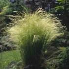 Stipa tenuissima 'Ponytails' (vedergras)