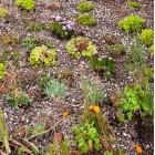 Sedumplant 24 voor plat dak